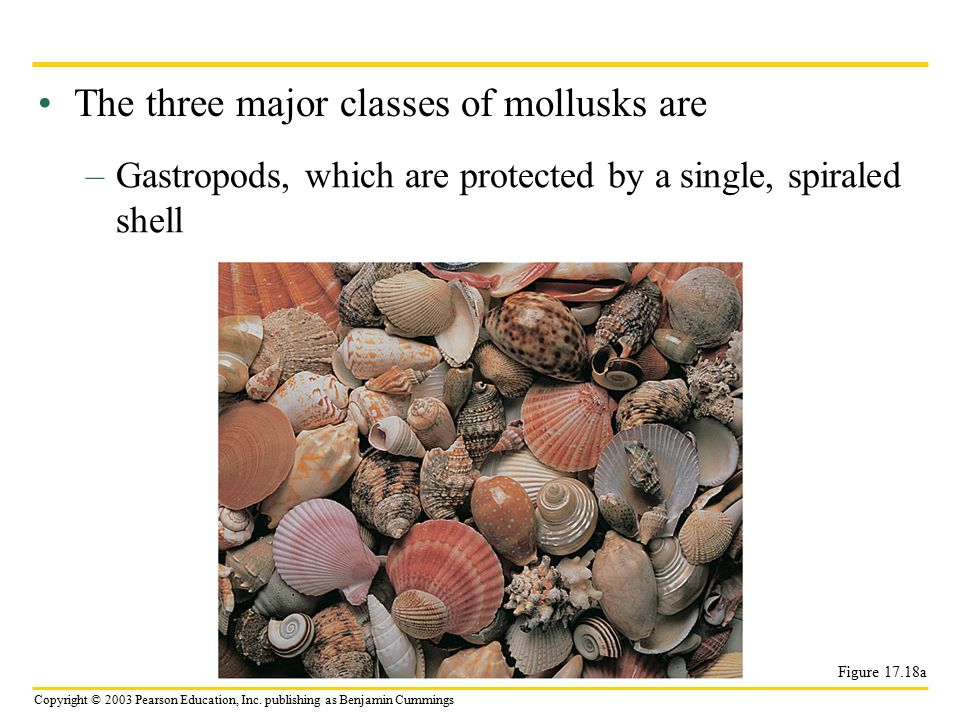 The three major classes of mollusks are