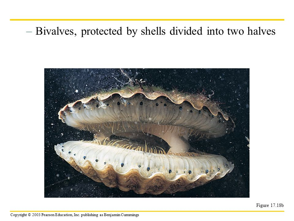Bivalves, protected by shells divided into two halves