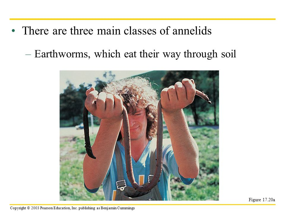 There are three main classes of annelids