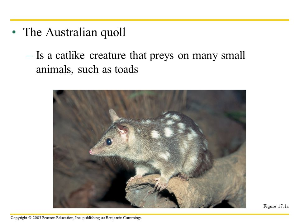 The Australian quoll Is a catlike creature that preys on many small animals, such as toads.