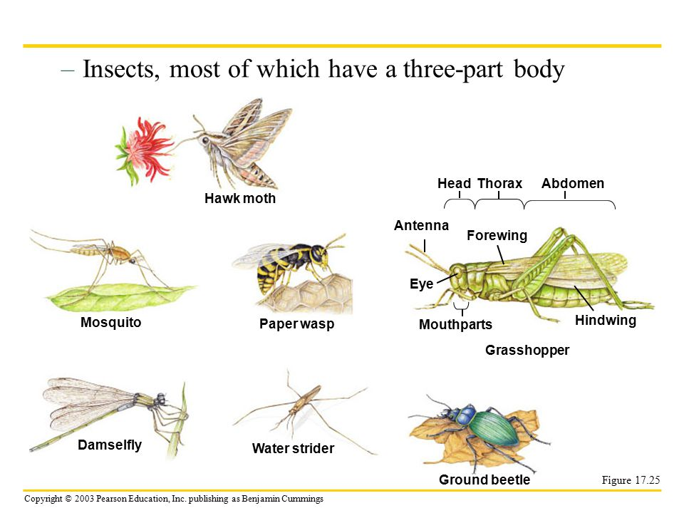 Insects, most of which have a three-part body