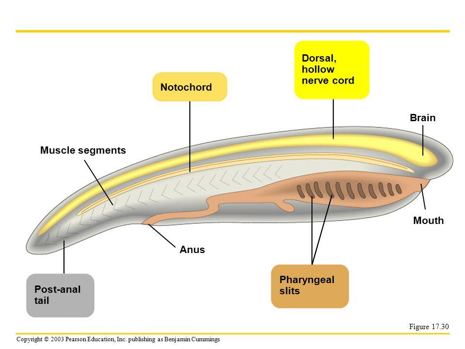 Dorsal, hollow nerve cord