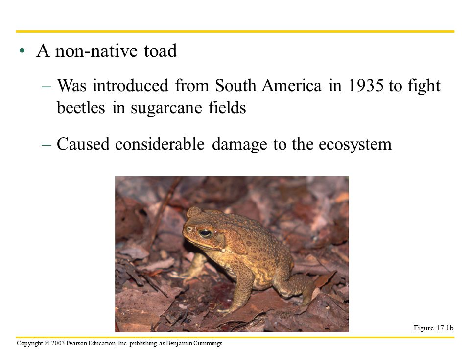 A non-native toad Was introduced from South America in 1935 to fight beetles in sugarcane fields. Caused considerable damage to the ecosystem.