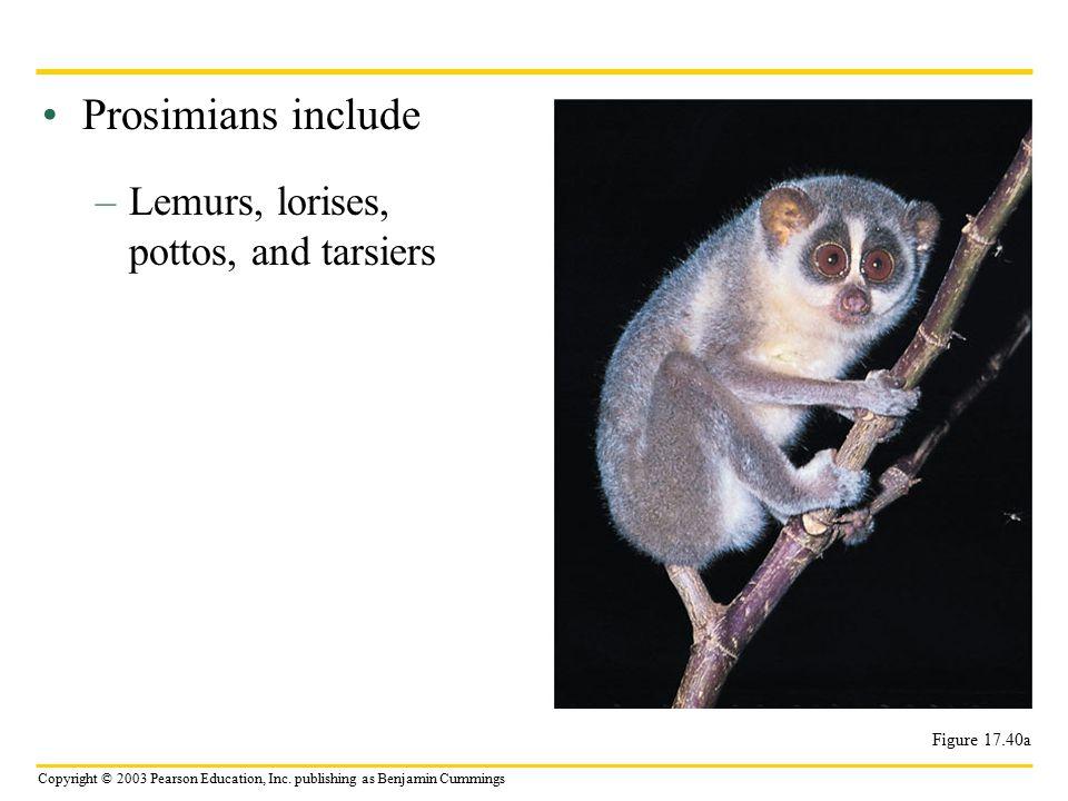 Prosimians include Lemurs, lorises, pottos, and tarsiers Figure 17.40a