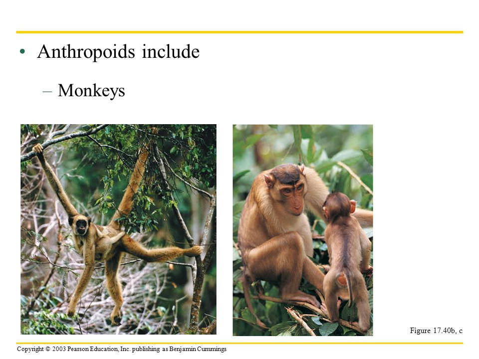 Anthropoids include Monkeys Figure 17.40b, c