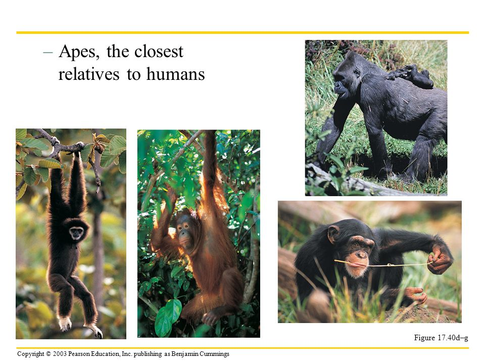 Apes, the closest relatives to humans