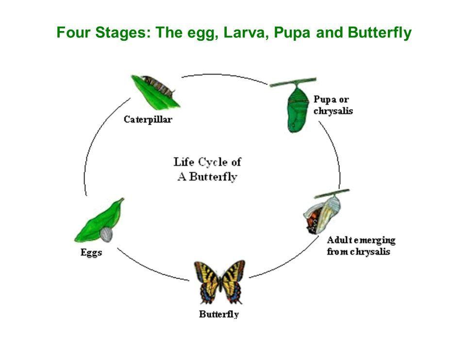 Four Stages: The egg, Larva, Pupa and Butterfly