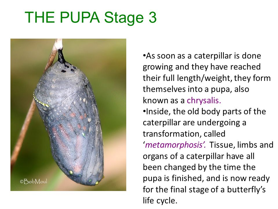 THE PUPA Stage 3