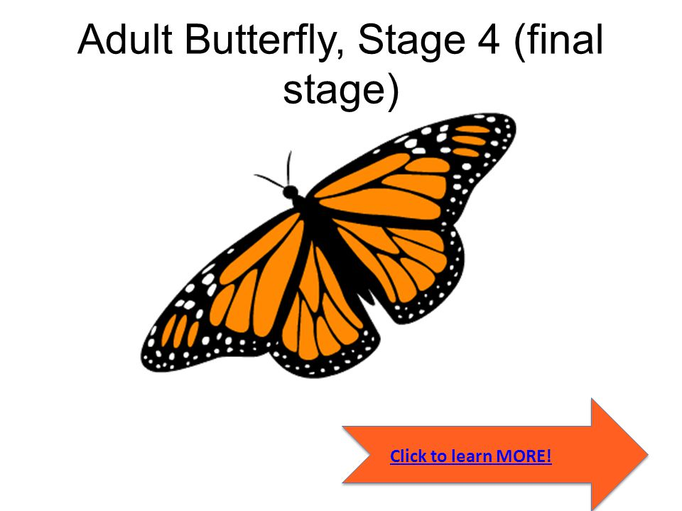Adult Butterfly, Stage 4 (final stage)