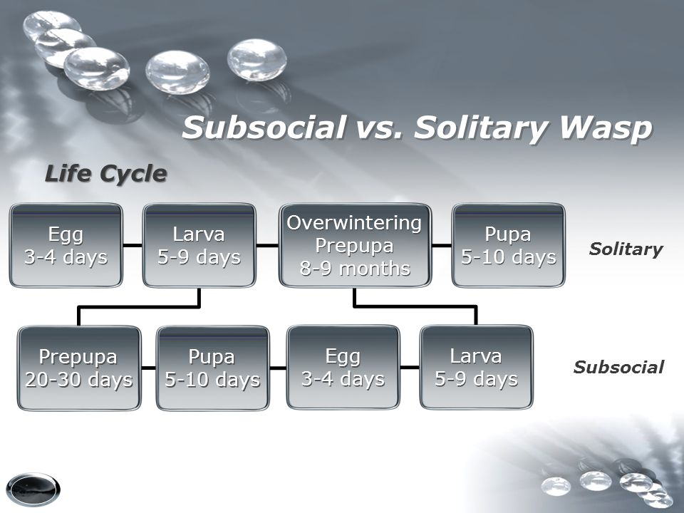 Subsocial vs. Solitary Wasp
