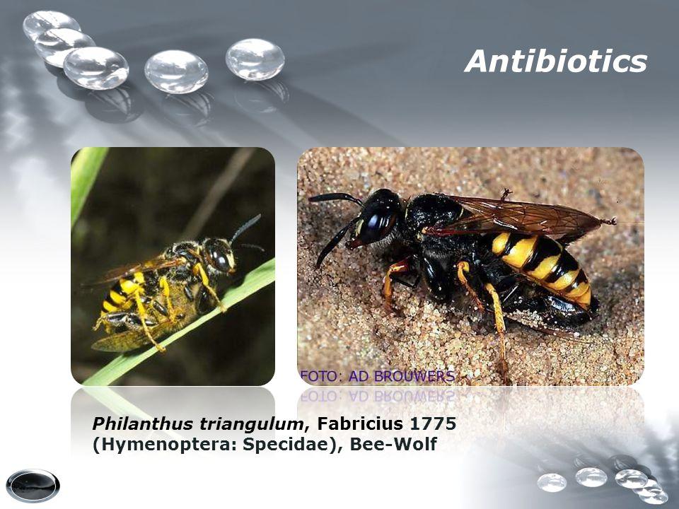 Antibiotics Philanthus triangulum, Fabricius 1775