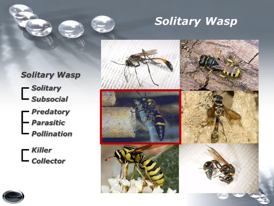 Solitary Wasp Solitary Wasp Solitary Subsocial Predatory Parasitic