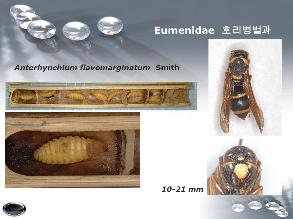 Eumenidae 호리병벌과 Anterhynchium flavomarginatum Smith 10-21 mm