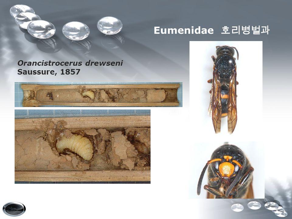 Eumenidae 호리병벌과 Orancistrocerus drewseni Saussure, 1857