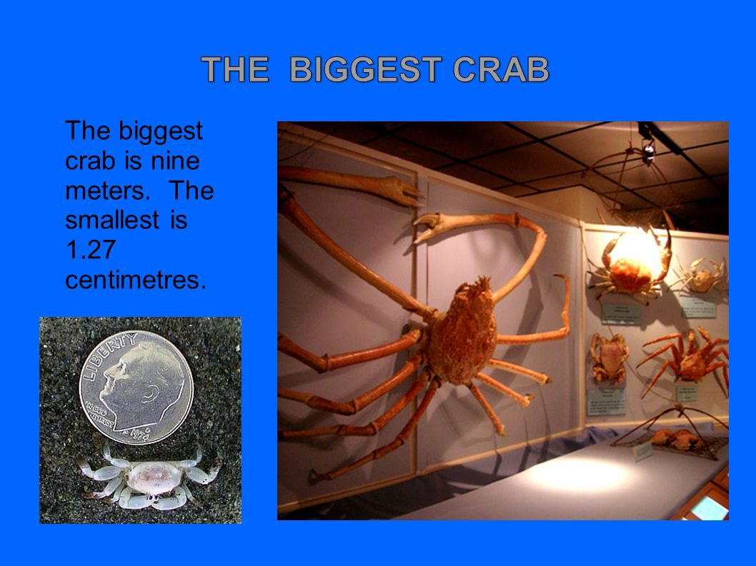 THE BIGGEST CRAB The biggest crab is nine meters. The smallest is 1.27 centimetres.
