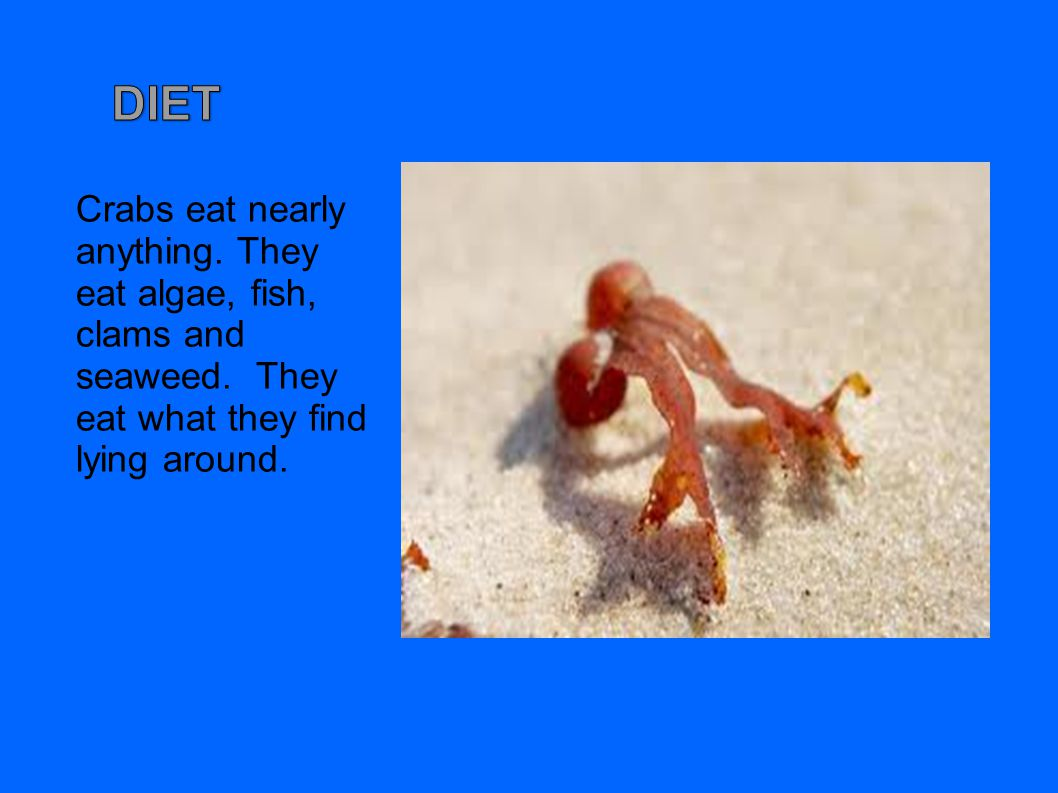 DIET Crabs eat nearly anything. They eat algae, fish, clams and seaweed.