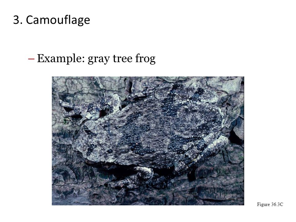 3. Camouflage Example: gray tree frog Figure 36.3C