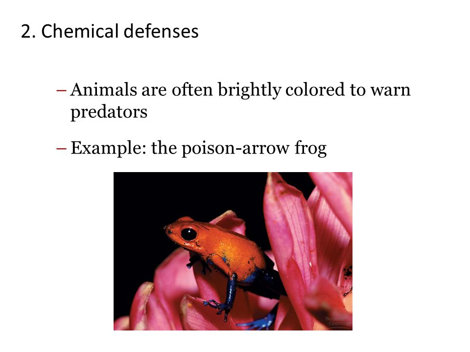 2. Chemical defenses Animals are often brightly colored to warn predators. Example: the poison-arrow frog.
