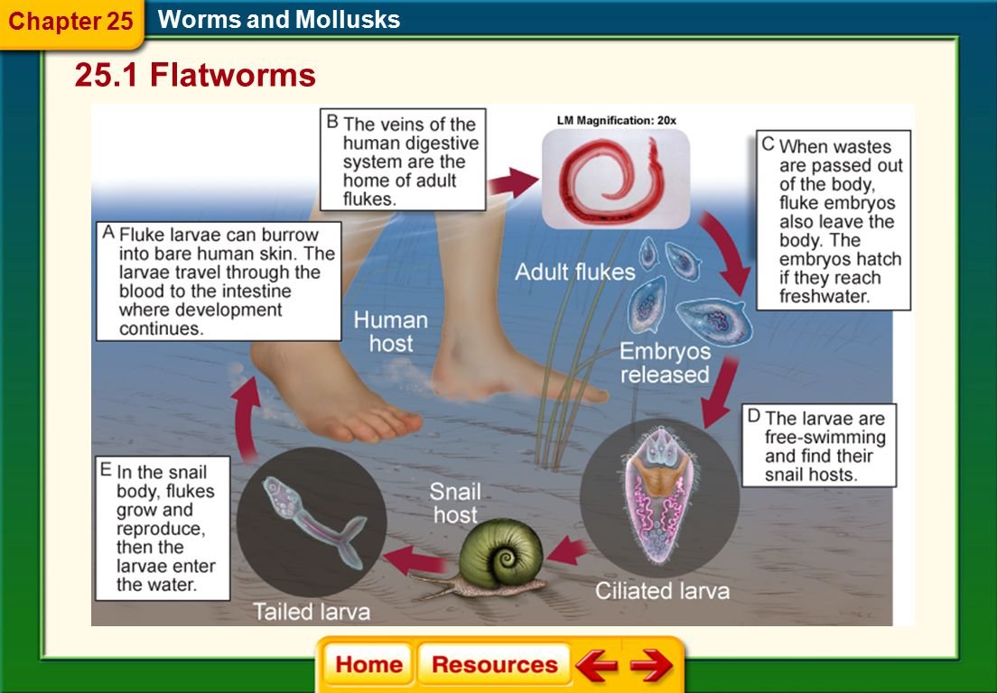 Chapter 25 Worms and Mollusks 25.1 Flatworms