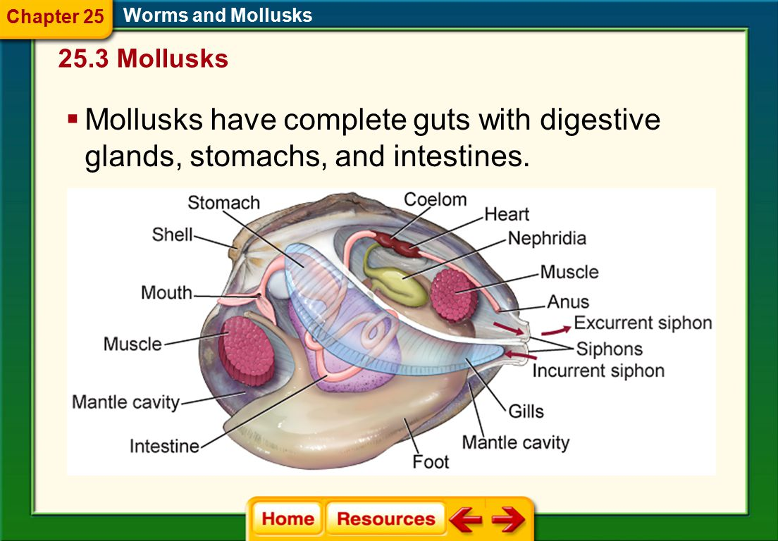 Chapter 25 Worms and Mollusks. 25.3 Mollusks.