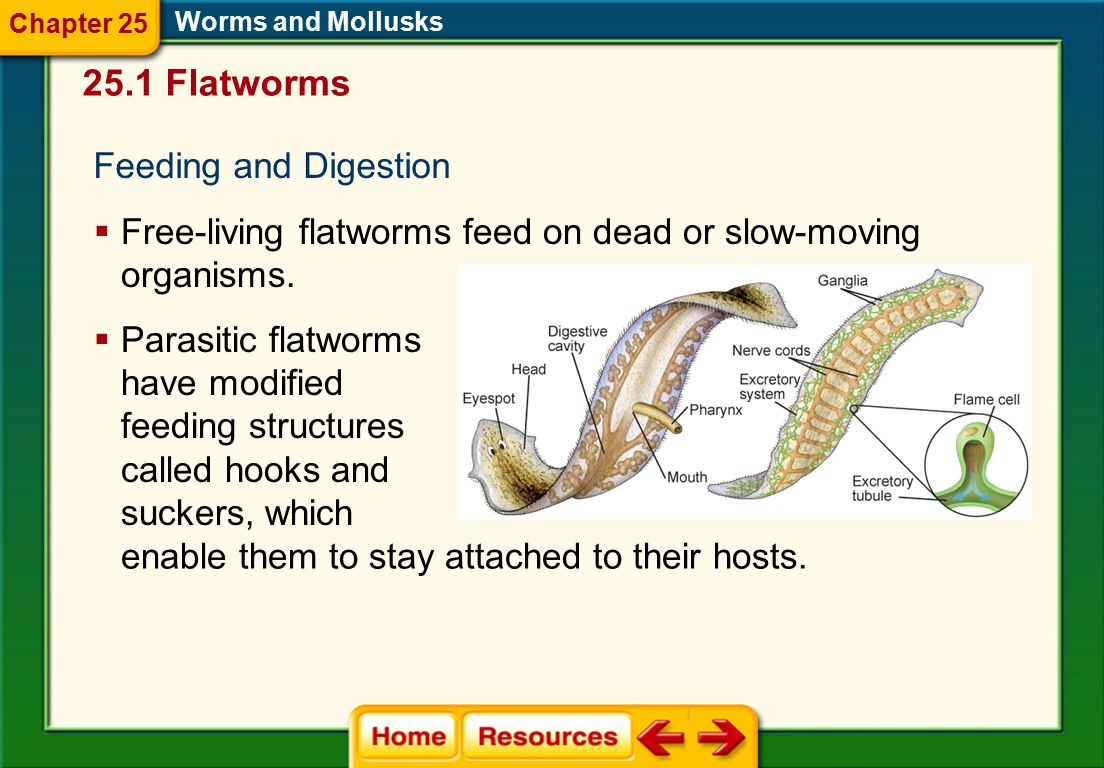 25.1 Flatworms Feeding and Digestion
