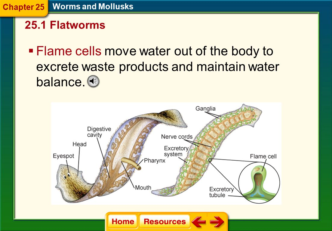 Chapter 25 Worms and Mollusks. 25.1 Flatworms.