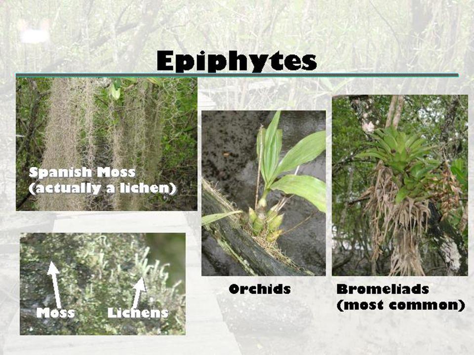 Epiphytes James A. Danoff-Burg, Columbia University, jd363@columbia.edu