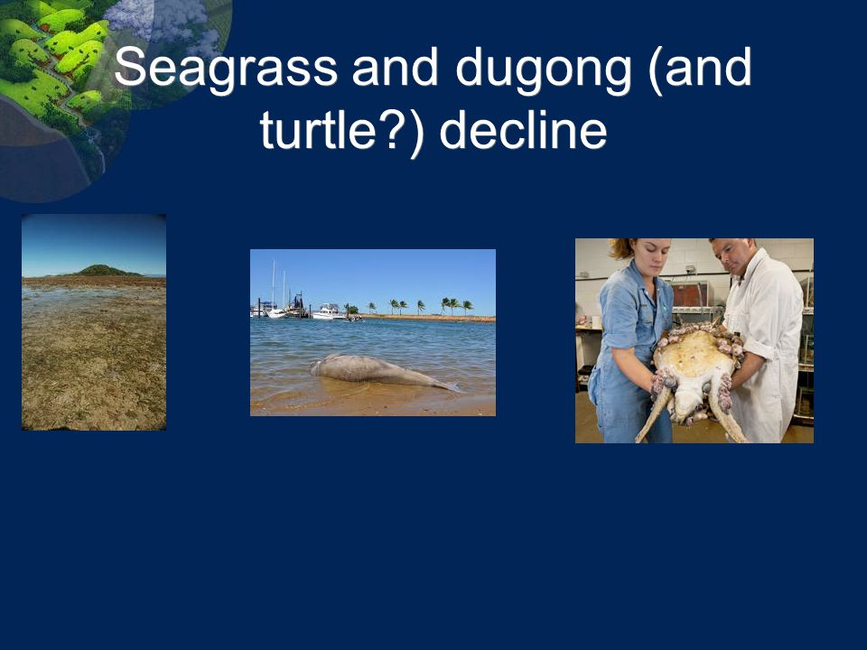 Seagrass and dugong (and turtle ) decline