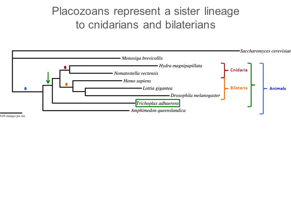 Placozoans represent a sister lineage to cnidarians and bilaterians