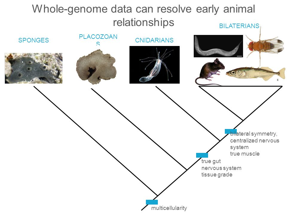 Whole-genome data can resolve early animal relationships
