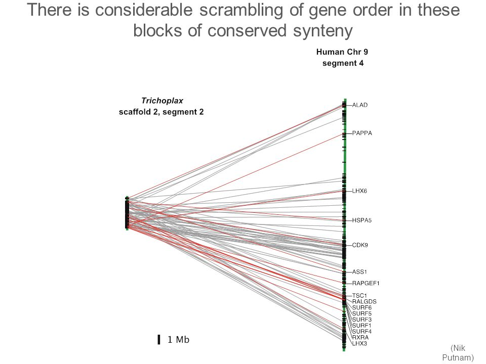 There is considerable scrambling of gene order in these blocks of conserved synteny