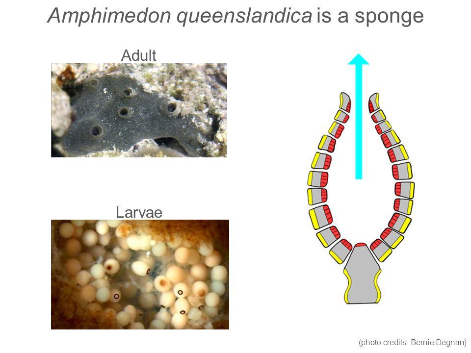 Amphimedon queenslandica is a sponge