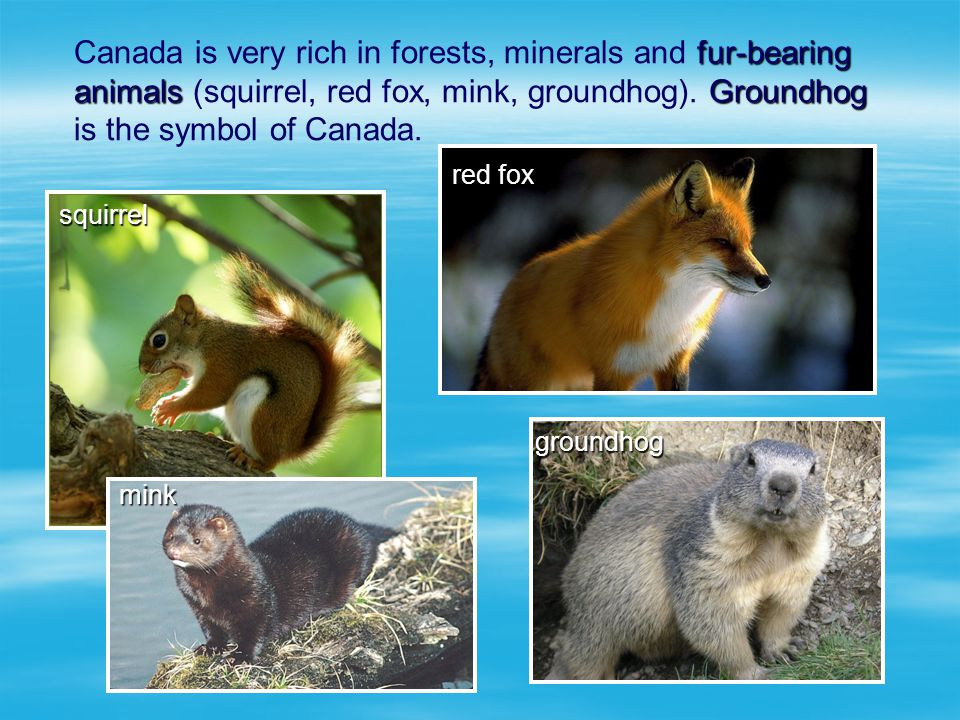 Canada is very rich in forests, minerals and fur-bearing animals (squirrel, red fox, mink, groundhog). Groundhog is the symbol of Canada.