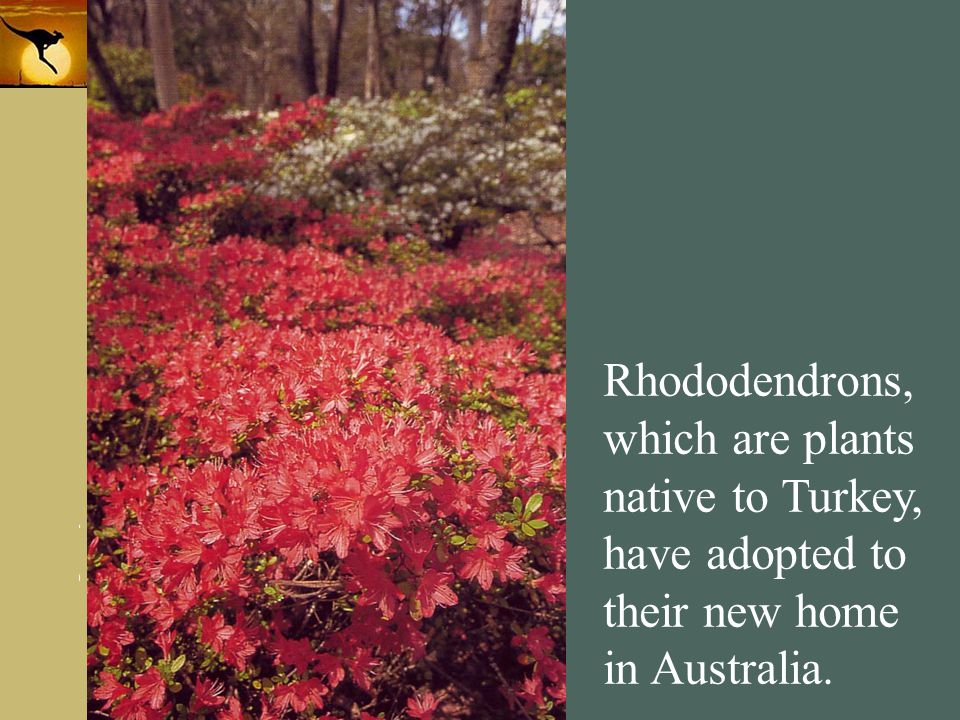 Rhododendrons, which are plants native to Turkey, have adopted to their new home in Australia.