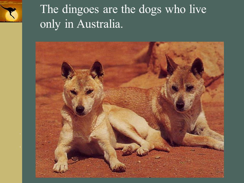 The dingoes are the dogs who live only in Australia.