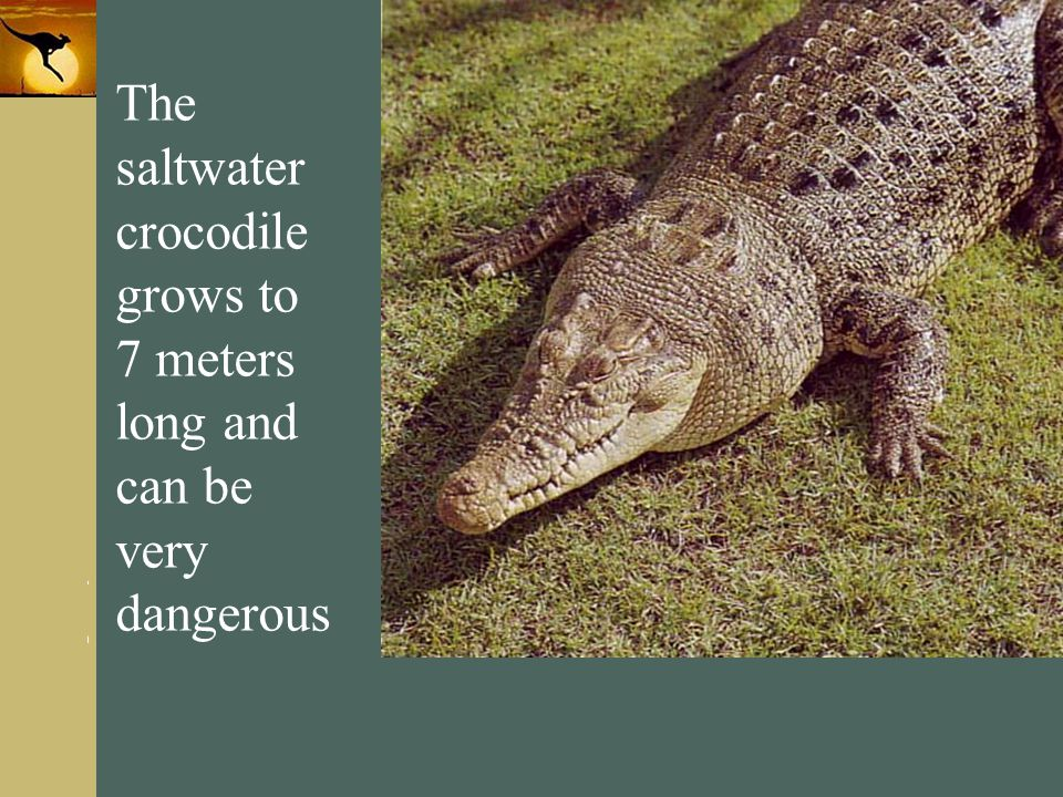 The saltwater crocodile grows to 7 meters long and can be very dangerous