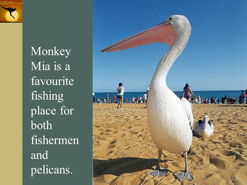 Monkey Mia is a favourite fishing place for both fishermen and pelicans.