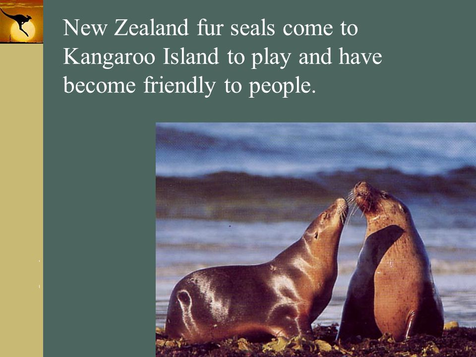 New Zealand fur seals come to Kangaroo Island to play and have become friendly to people.