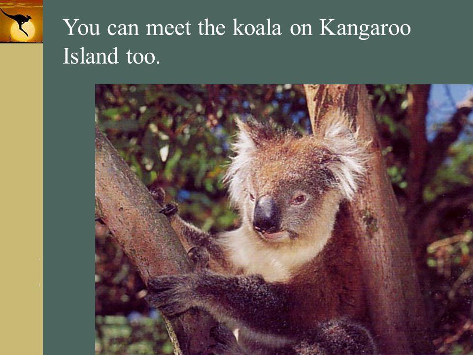 You can meet the koala on Kangaroo Island too.