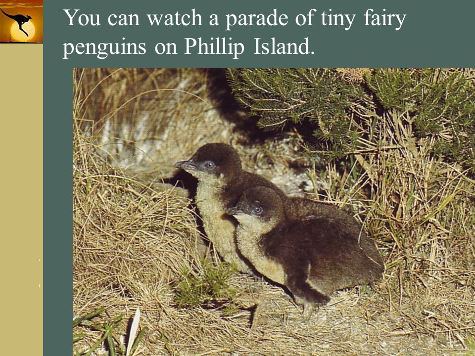 You can watch a parade of tiny fairy penguins on Phillip Island.