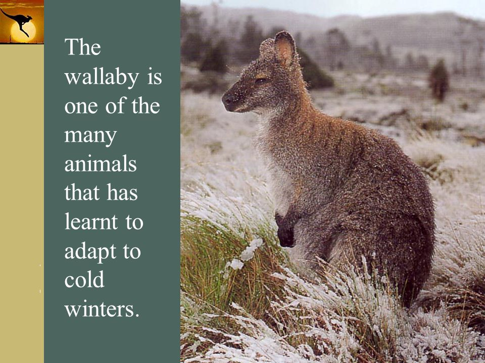 The wallaby is one of the many animals that has learnt to adapt to cold winters.