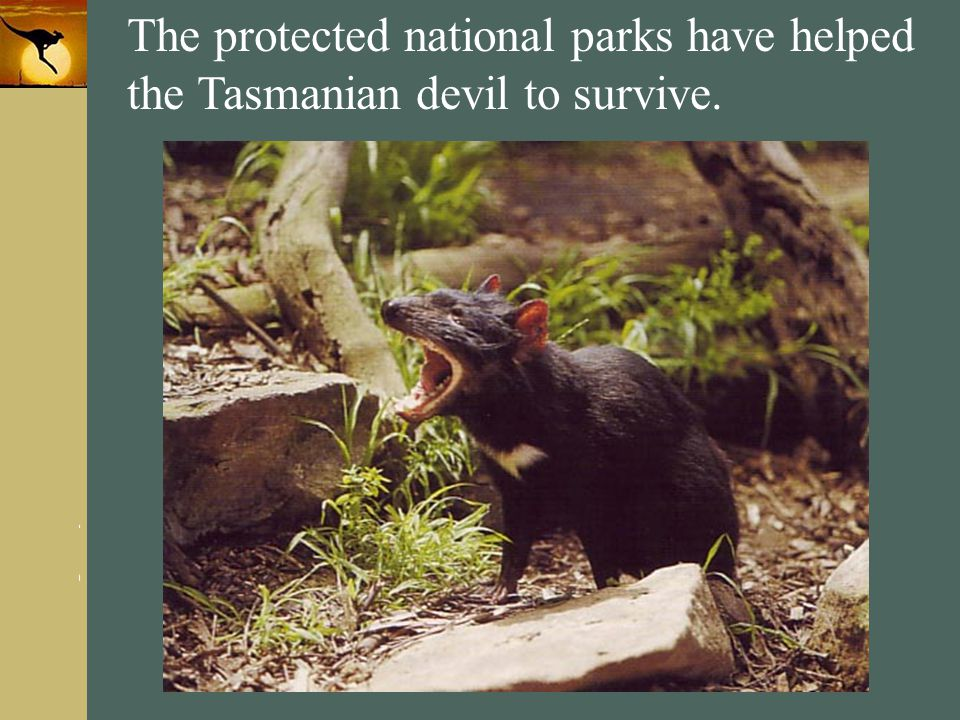 The protected national parks have helped the Tasmanian devil to survive.