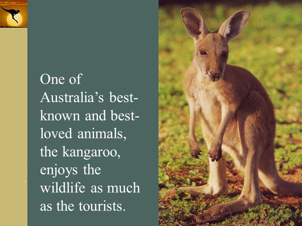 One of Australia's best- known and best- loved animals, the kangaroo, enjoys the wildlife as much as the tourists.
