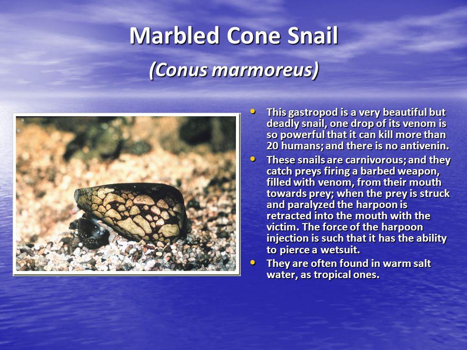 Marbled Cone Snail (Conus marmoreus)