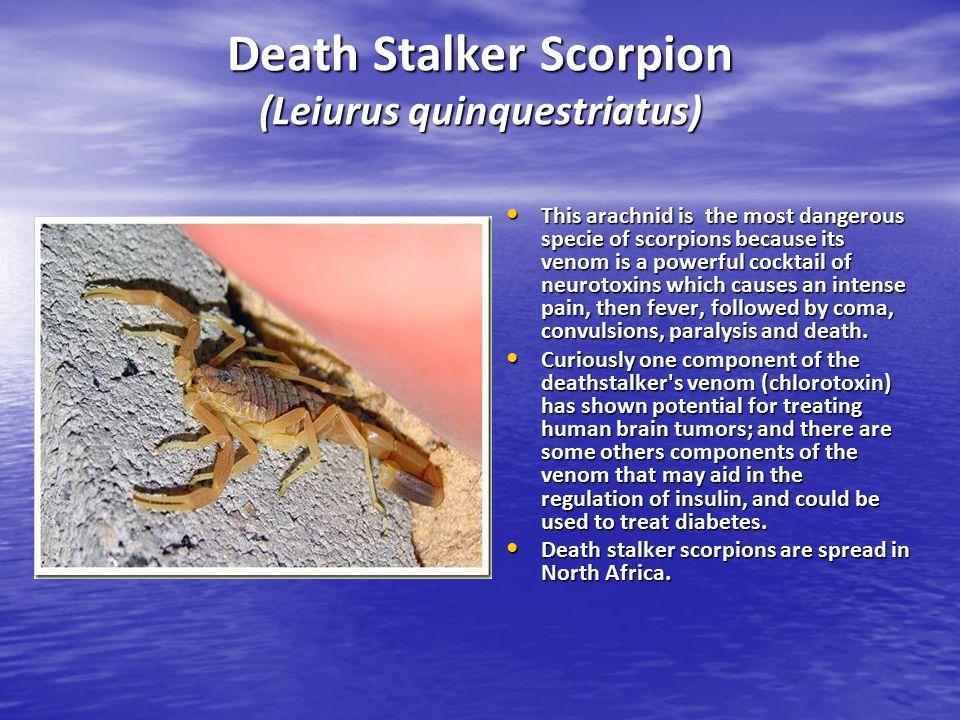 Death Stalker Scorpion (Leiurus quinquestriatus)