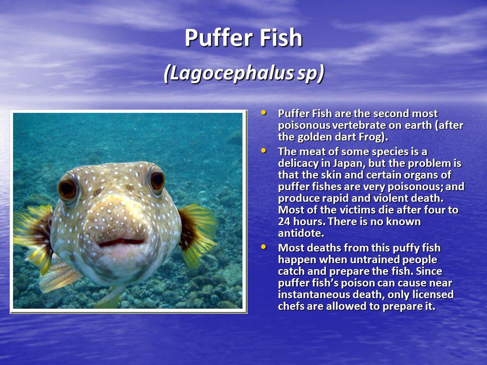 Puffer Fish (Lagocephalus sp)