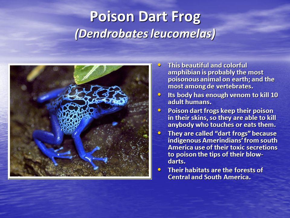 Poison Dart Frog (Dendrobates leucomelas)