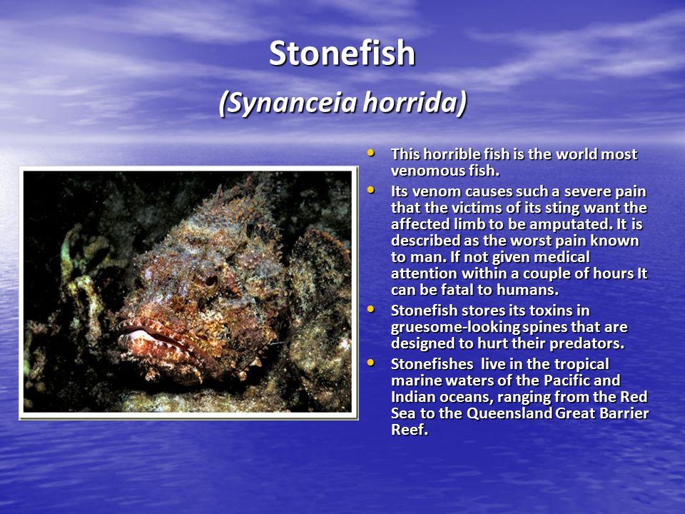 Stonefish (Synanceia horrida)