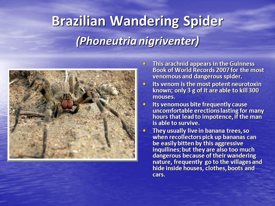 Brazilian Wandering Spider (Phoneutria nigriventer)