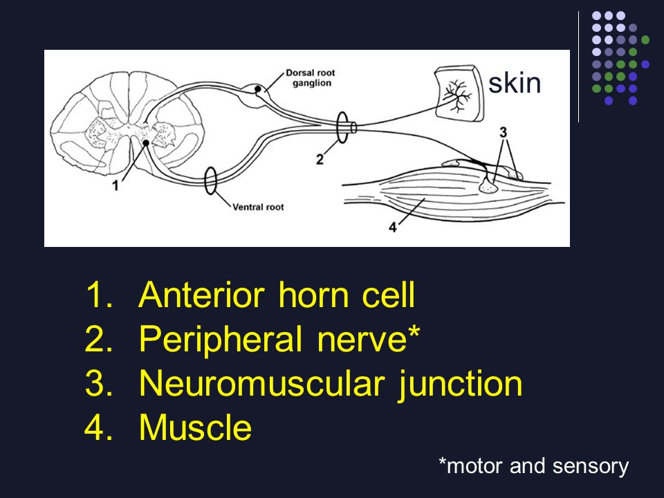Neuromuscular junction Muscle